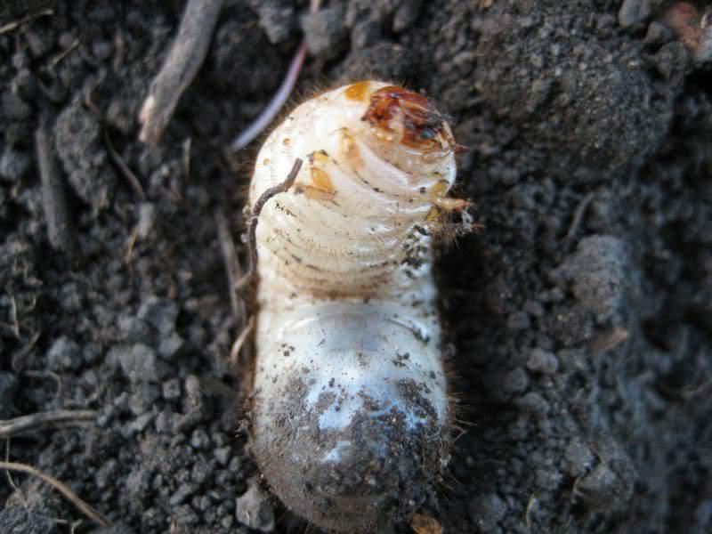 жук майский личинка