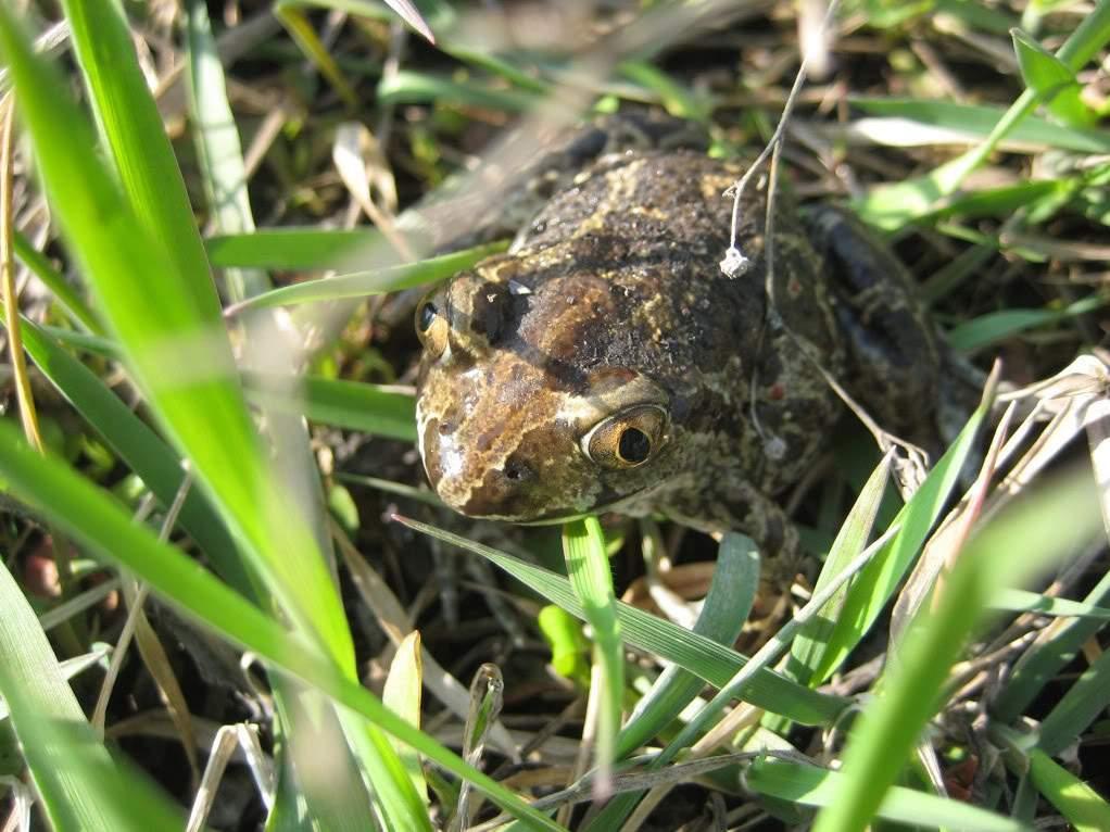 жаба монетная