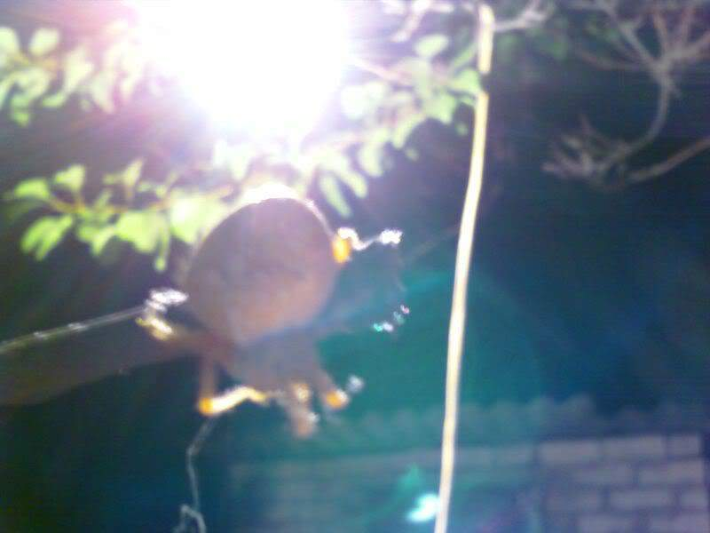 фото сантуриновского паука